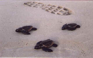 Baby turtles and a footprint
