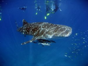 Whale Shark and Snorkellers above